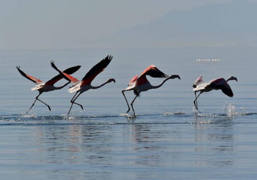 Ναύπλιο: Δεκάδες πανέμορφα φλαμίνγκο έκαναν ανοιξιάτικο ποδαρικό