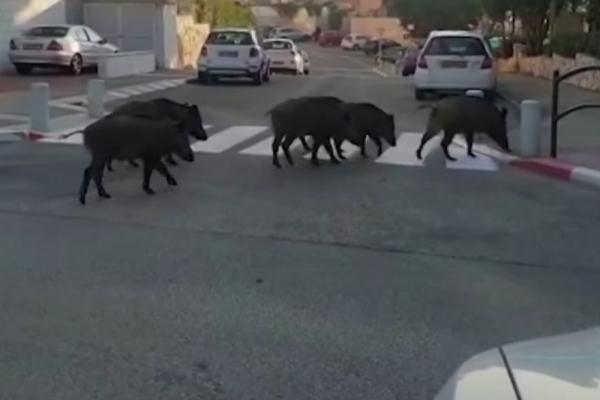 Αγριογούρουνα έκοβαν βόλτες στη Θεσσαλονίκη (Εικόνες)