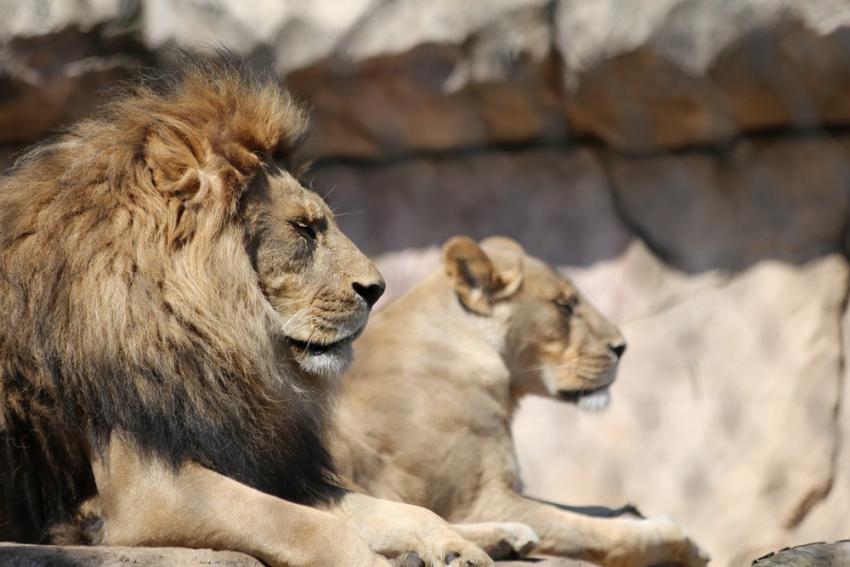 Λιοντάρι πέθανε από κορονοϊό σε ζωολογικό κήπο